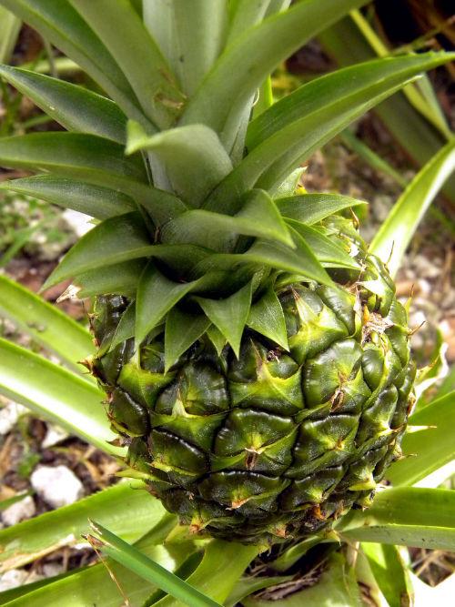 Jak wyhodować ananasa w domu