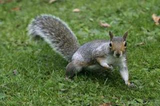Żeby wiewiórki nie zjadały roślin, rozsyp na nie trochę pieprzu cayenne