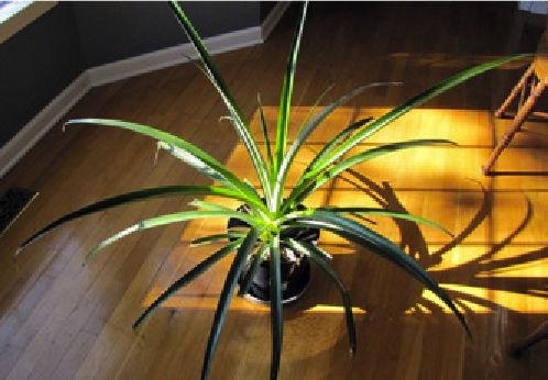 Gdy ananas już puści korzenie, osuszamy i wsadzamy do doniczki