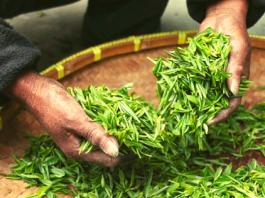 Zielona herbata to jeden z najzdrowszych napojów na świecie.